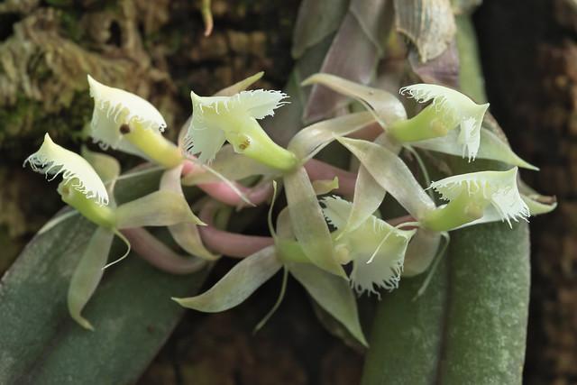 Epidendrum moronense 7324-1; Orchidaceae (2)