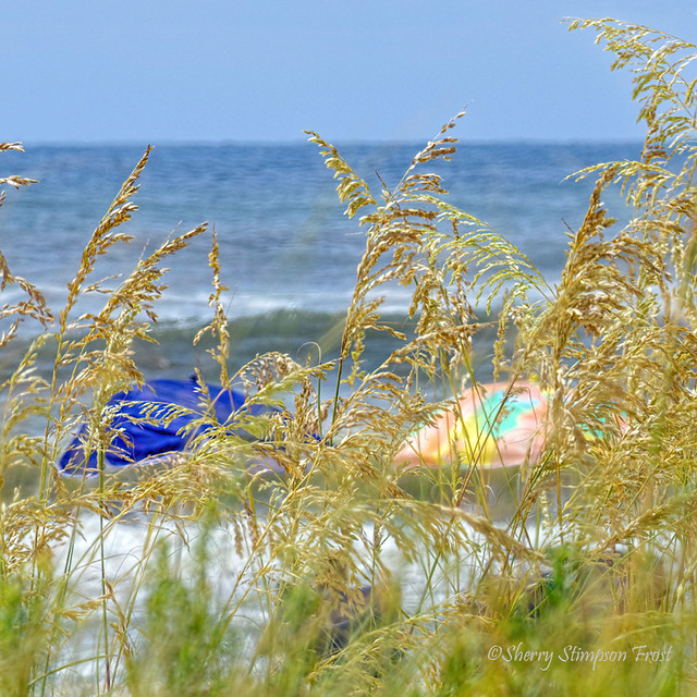 Umbrellas thru the sea oats on the beach of the Gulf of Mexico.