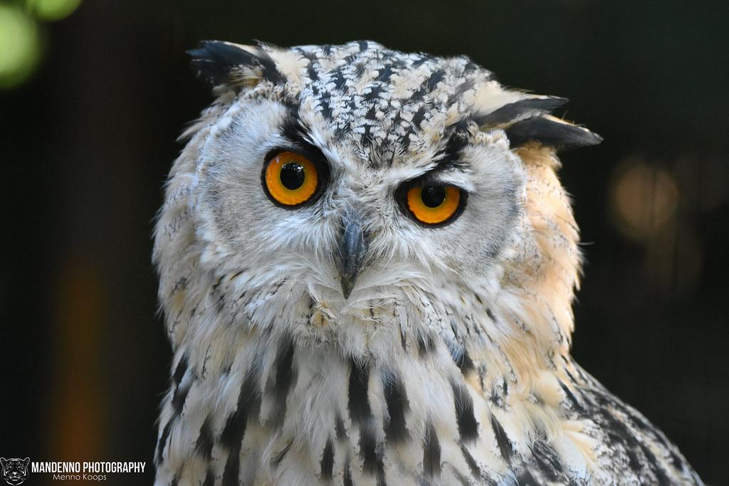 Siberian eagle owl - Pakawipark