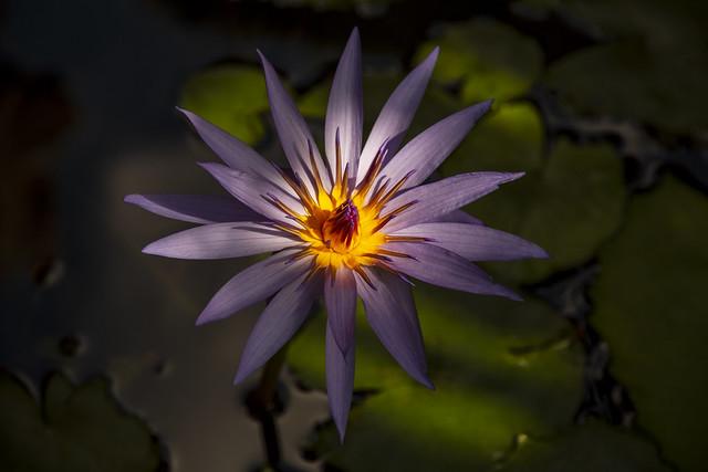 IMG_3698 Nenufar Tropical - Blue Star