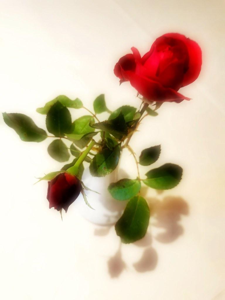 Rose, HSoS!