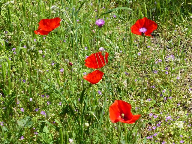 Wildflowers, Olympos, Turkey
