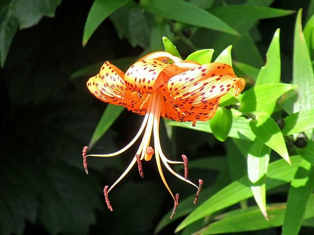 LLIRI DE TIGRE (Lilium lancifolium)