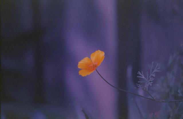 Canon FX Kodak Gold  1995 Californian Poppy corrected White Balance