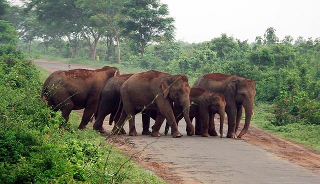 Elephants-Near-Chandaka-utkal-today