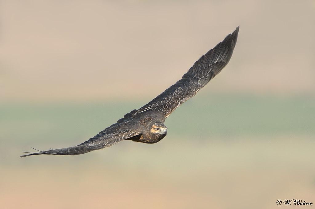 Águila - Black-chested Buzzard-Eagle) (Geranoaetus melanoleucus australis) (imaturre) Batuco, Chile