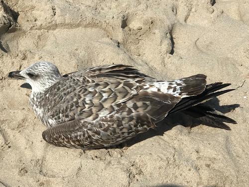 Gaviota con el síndrome de parálisis en la Playa de Mil Palmeras