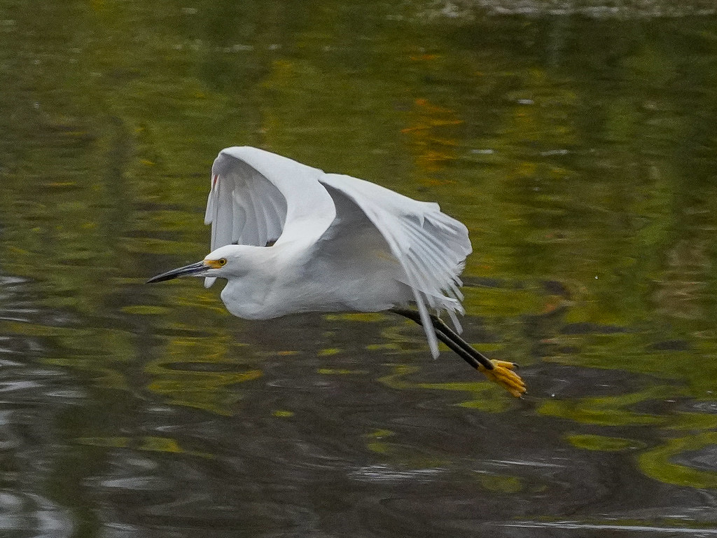 Snowy Egret moving fast