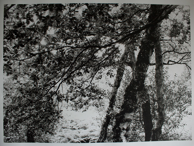 Hyons Wood, Walker Titan SF with Rodenstock 150mm, Ilford Ortho Plus in HC110, 12