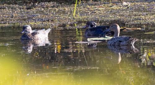 Wood Ducks and female Northern Pintail