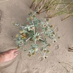 Rossbeigh-SeaHolly