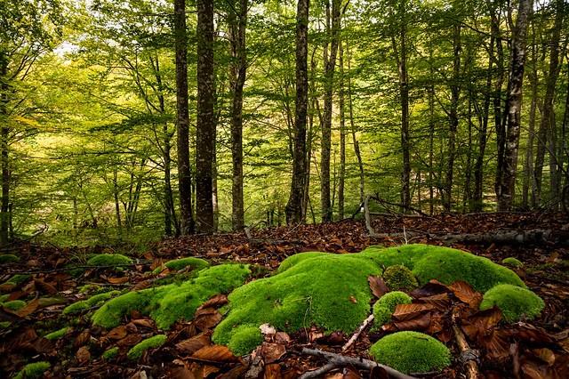 Bosque de haya