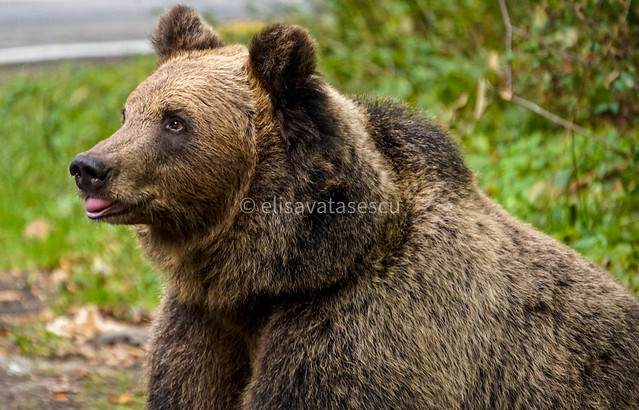 Papa bear looking for family and food.