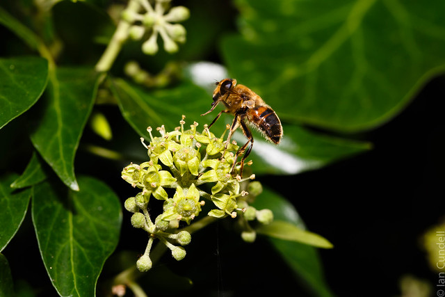 Hoverfly, imitating a bee, on ivy