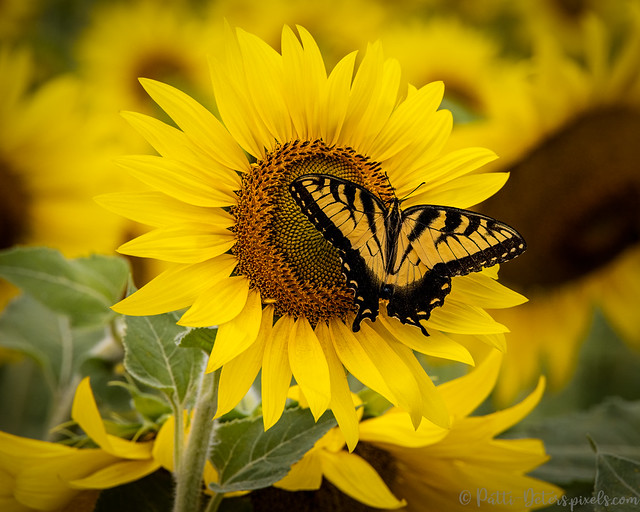Sunflower Butterfly - Yellow on Yellow