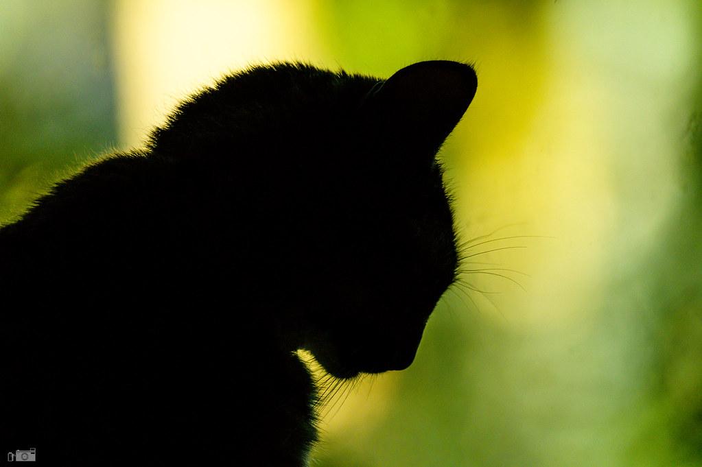 Silhouet d'un domestic feline