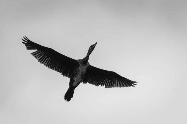 Grand Cormoran / Great Cormorant / Phalacrocorax Carbo