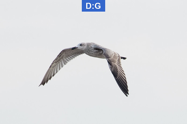 Caspian Gull - juvenile - August