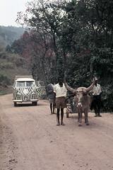 UG Kisoro area long horn steer - 1965 (W65-A81-35)