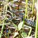 Eastern Gartersnake (Thamnophis sirtalis sirtalis) eating a Green Frog (Rana clamitans)