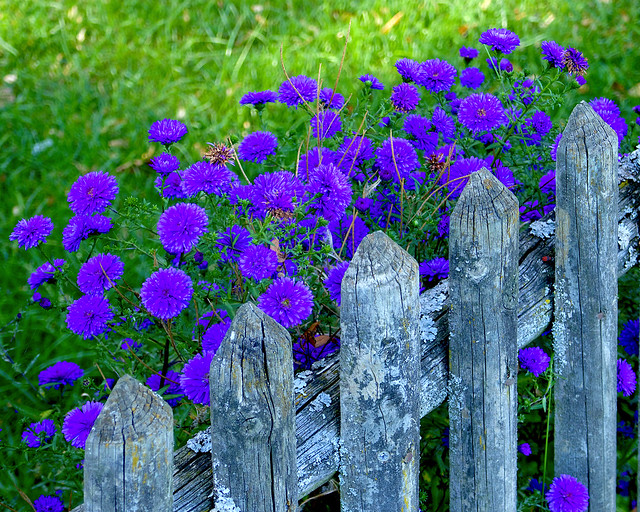 Old Fence & New Flowers