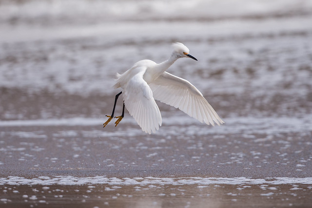 SNOWY EGRET at TWIN LAKES STATE BEACH, CA