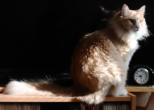 NORWEIGEAN FOREST CAT IN MORNING SUN
