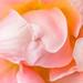 Pastel Rose, 5.3.18