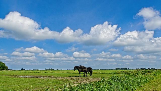 Fryske Hynders - Friesian Horses