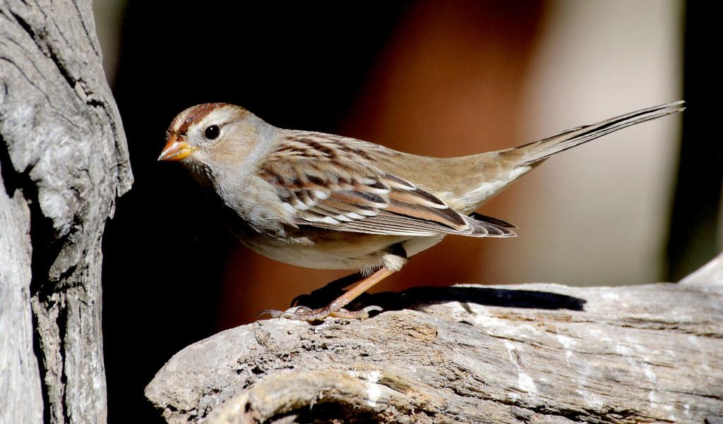 White-crowned Sparrow, Juvenile (Zonotrichia leucophrys); Santa Fe National Forest, NM, Thompson Ridge [Lou Feltz]