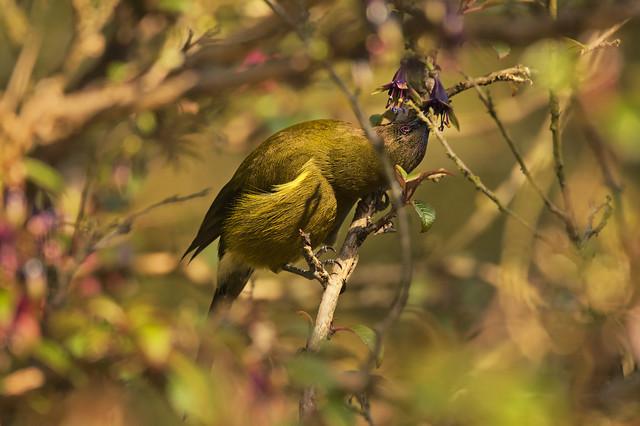 Male bellbird in a tree fuchsia