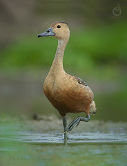 Lesser whistling duck (Dendrocygna javanica), also known as Indian whistling duck or lesser whistling teal, is a species of whistling duck that breeds in the Indian subcontinent and Southeast Asia. They are nocturnal feeders that during the day may be fou