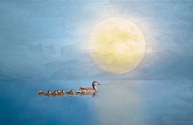 Mallard Mom and Ducklings Evening Swim
