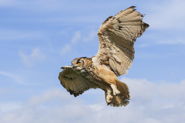 Bengal Eagle Owl in a blue sky