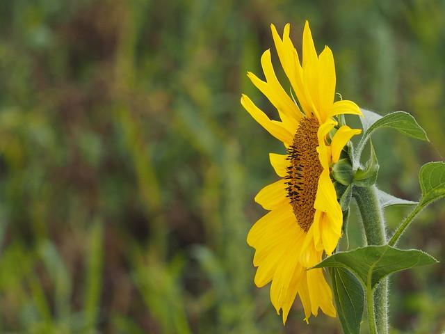 Sonnenblume - Sunflower