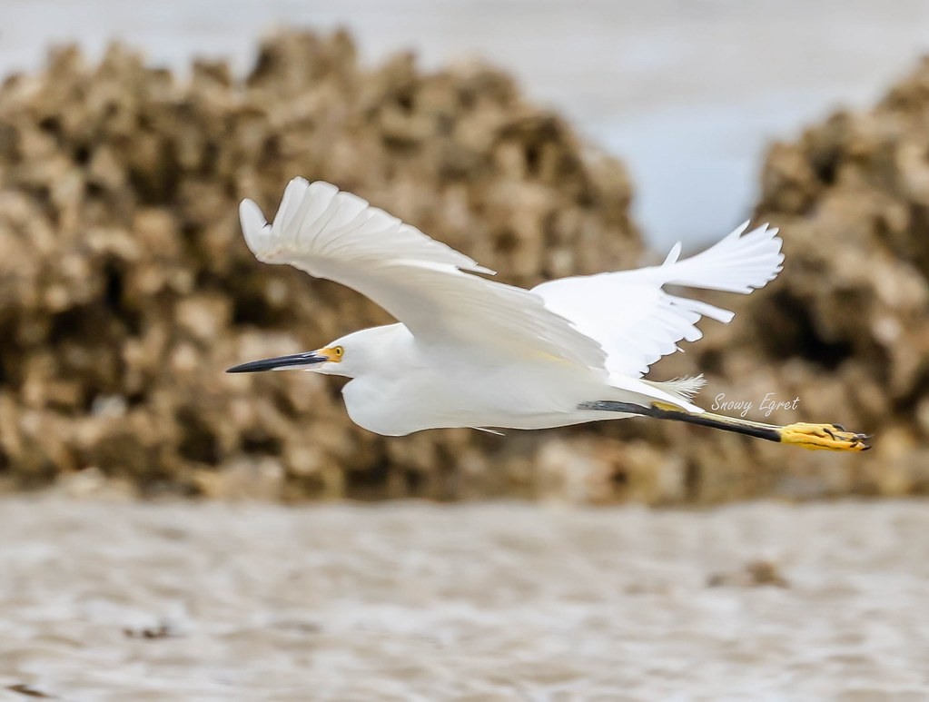 Snowy Egret by Oyster Reef