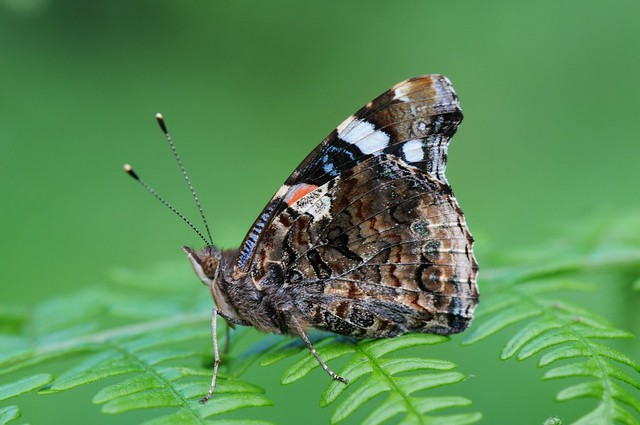 Red Admiral awaiting the clouds