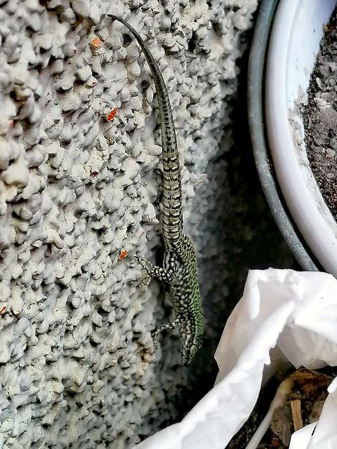 Lucertola muraiola (Podarcis muralis)