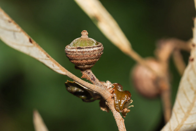 IMG_4036  赤皮 Quercus gilva Blume