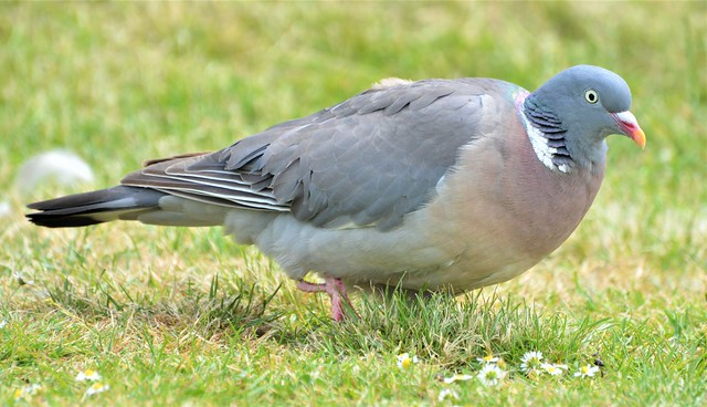 Wood Pigeon_0657