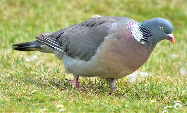 Wood Pigeon_0656
