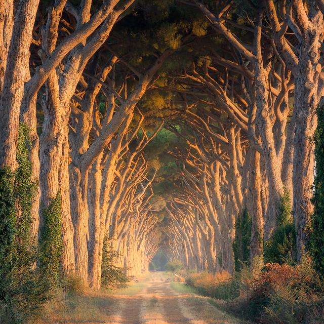 Pine Trees at Tuscany