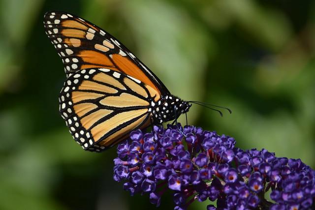 2021-261 - Monarch