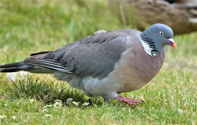 Wood Pigeon_0658