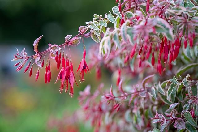 Fuchsia im Bethmannpark