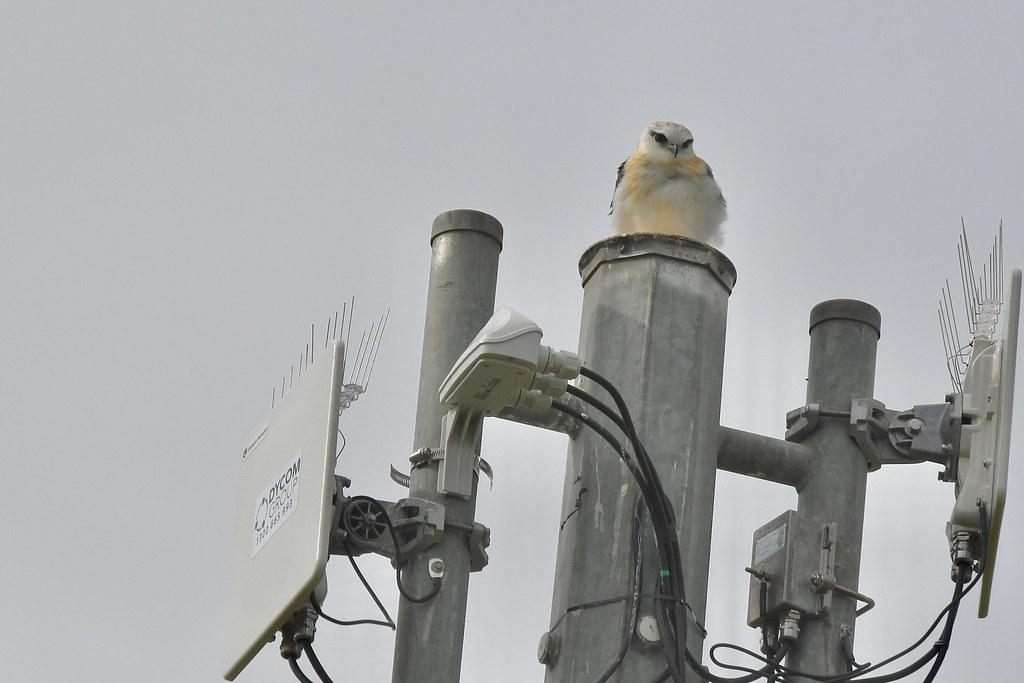 Black- shouldered Kite