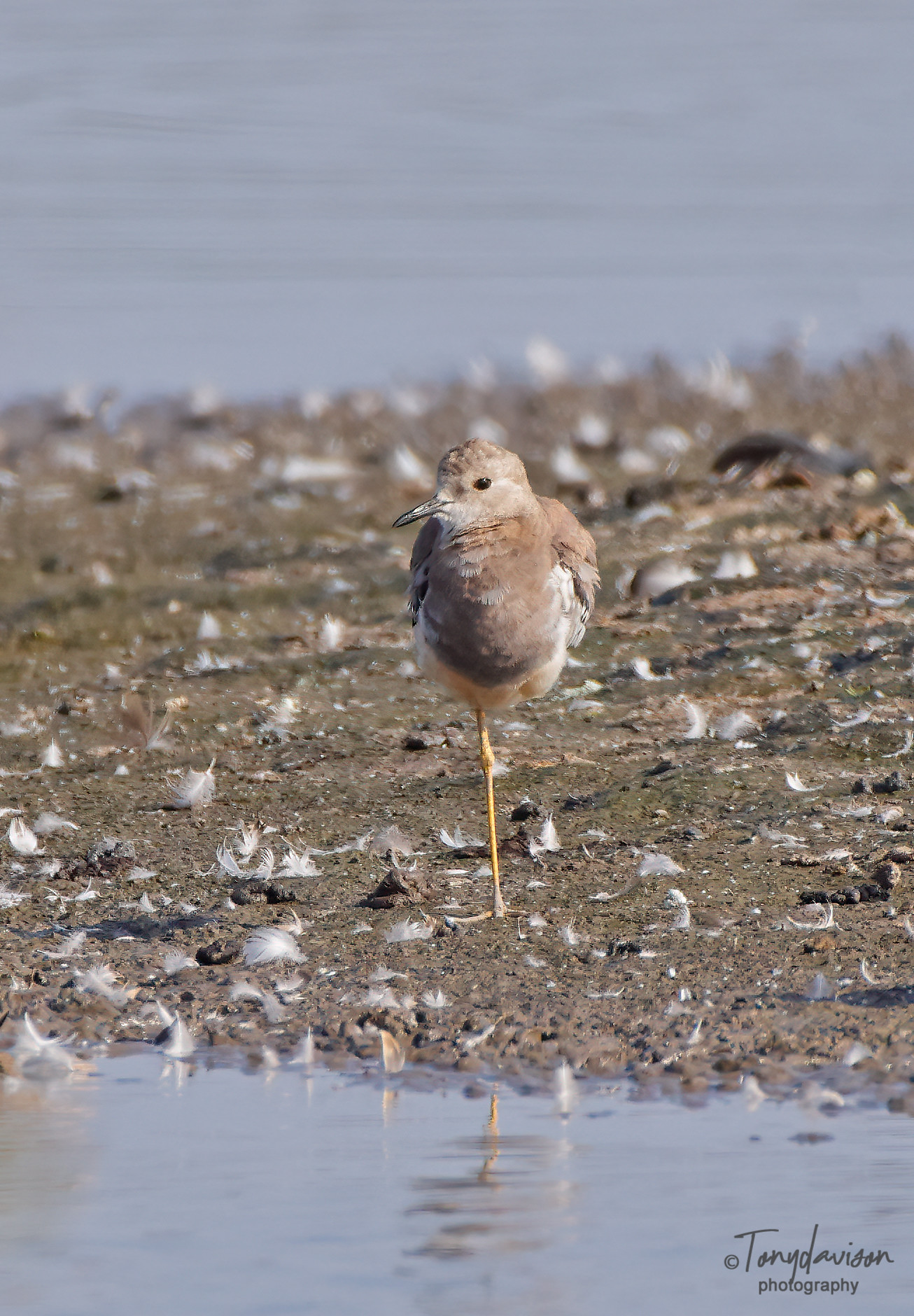 White-tailed Lapwing  (Plover)