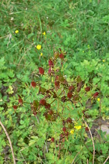 Tu00fcpfel-Johanniskraut (Hypericum perforatum) (1)