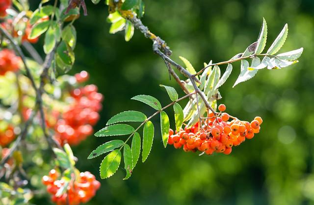 ash berry