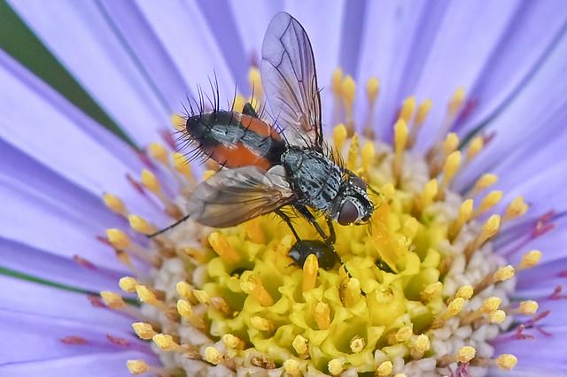 Tachinidae landing on an aster